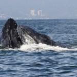 ballenas cabeza